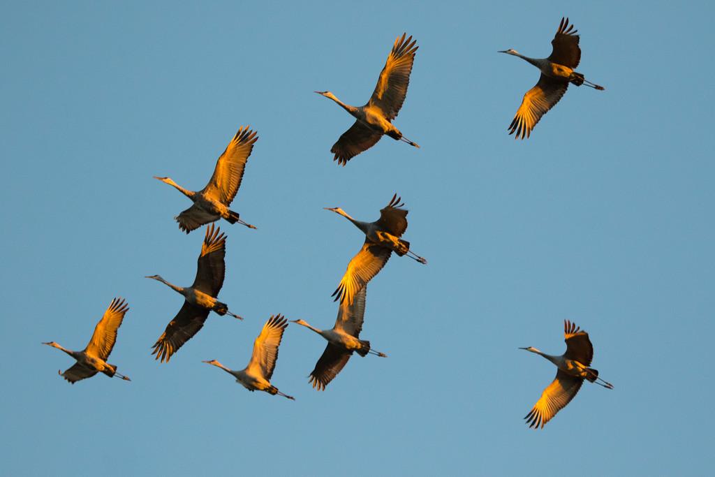 Crex cranes 13 (2015)
