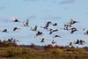 Crex cranes 37 (2015)