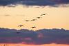 Crex cranes 1 (2015)