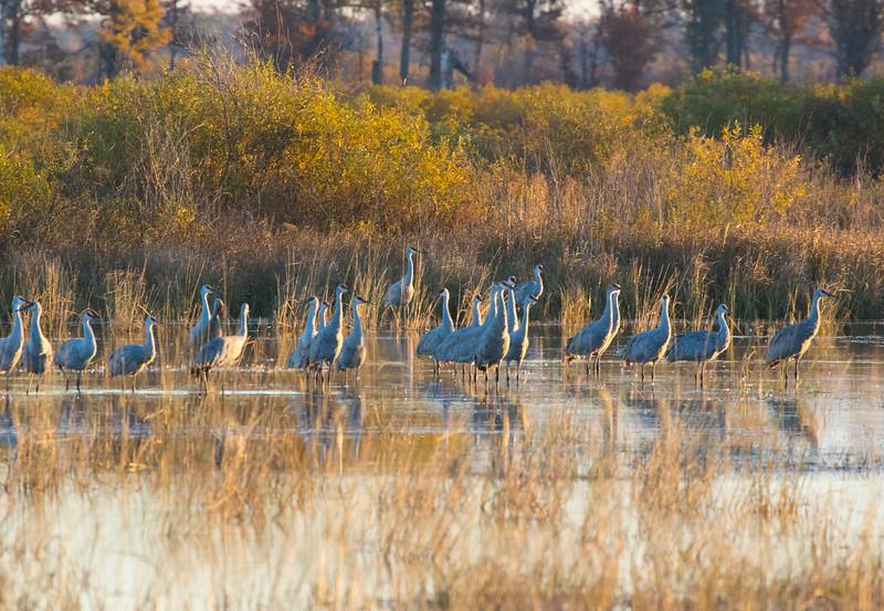 Crex cranes 8 (2015)