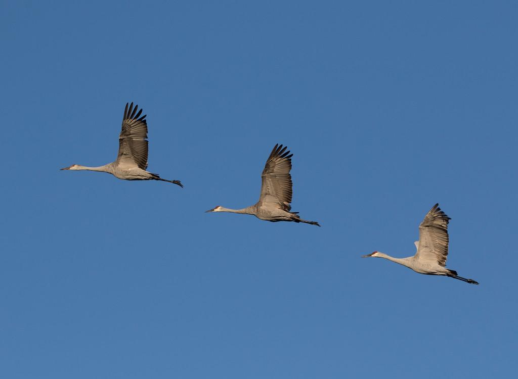 Crex cranes 40 (2015)