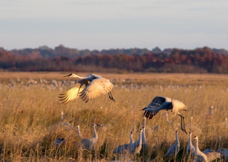 Crex cranes 10 (2015)