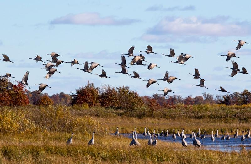 Crex cranes 36 (2015)
