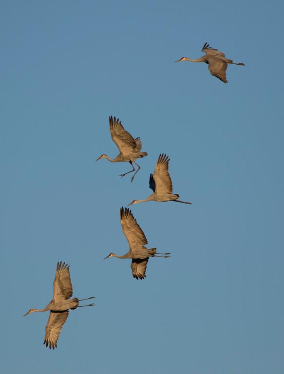 Crex cranes 17 (2015)