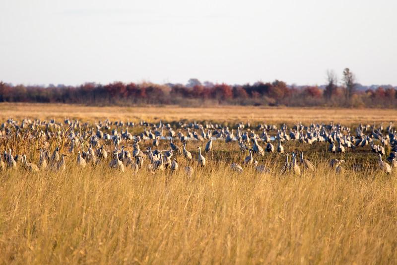 Crex cranes 14 (2015)