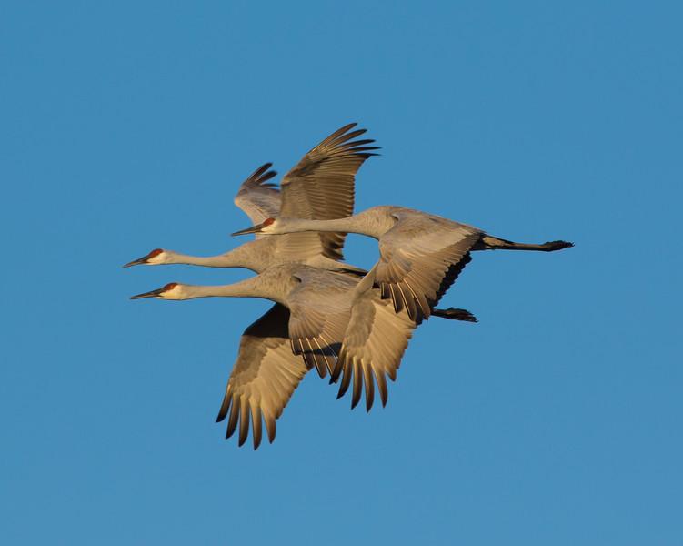 Crex cranes 28 (2015)