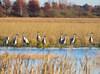 Crex cranes 20 (2015)