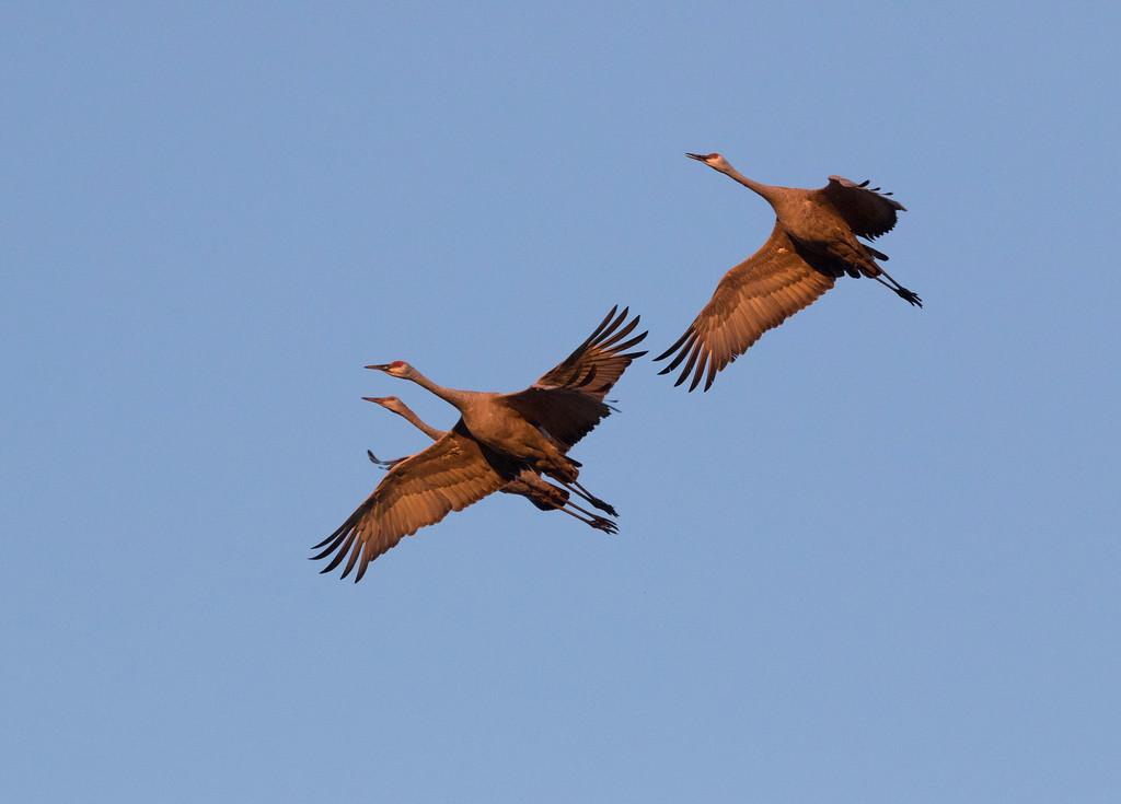 Crex cranes   (2015)