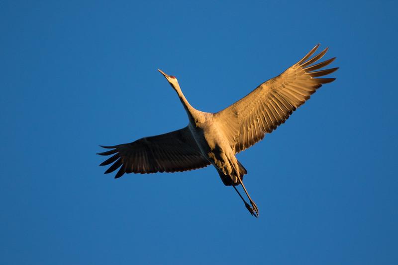 Crex cranes 31 (2015)