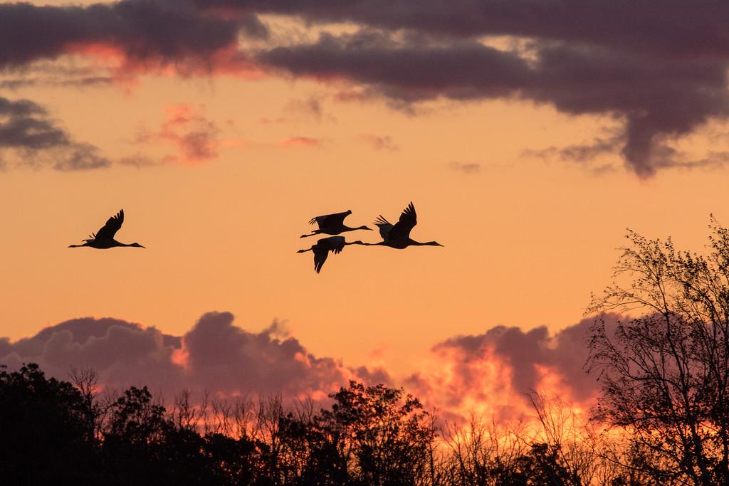 Crex cranes 2 (2015)
