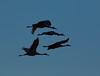 Crex cranes 16 (2015)