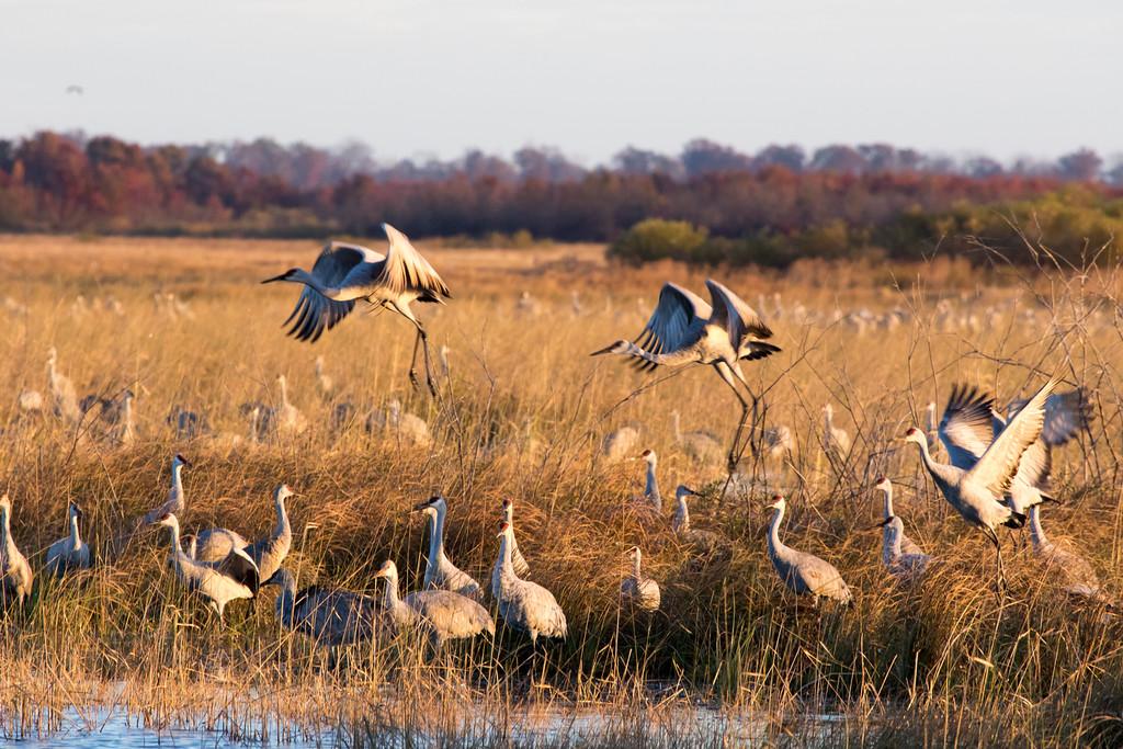 Crex cranes 9 (2015)