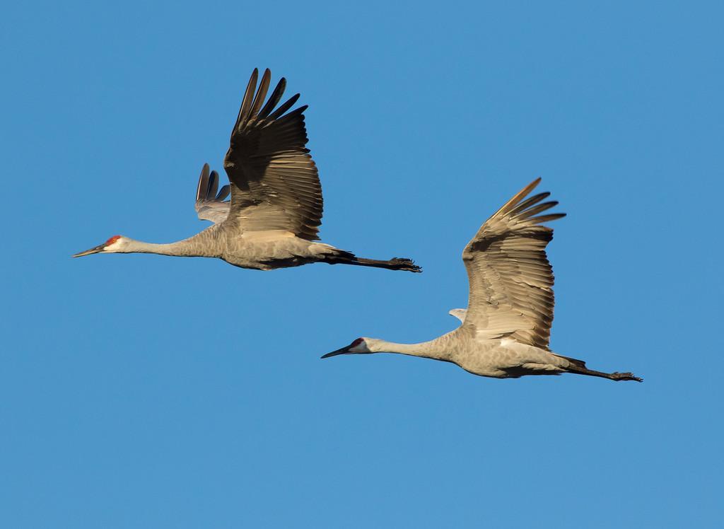 Crex cranes 30 (2015)