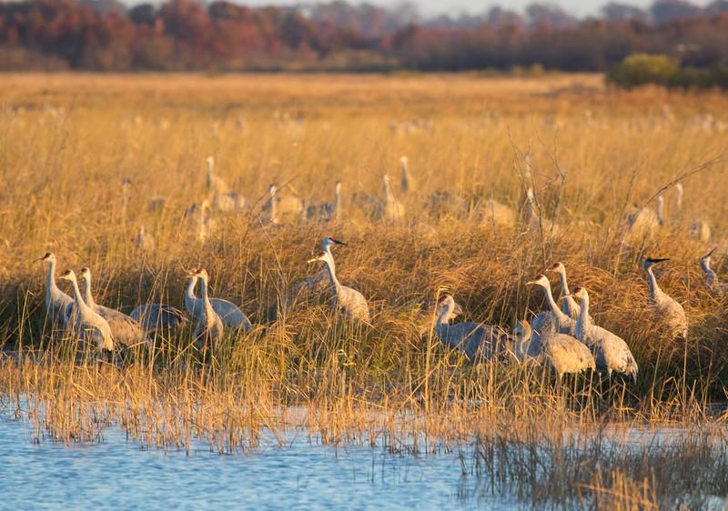Crex cranes 11 (2015)