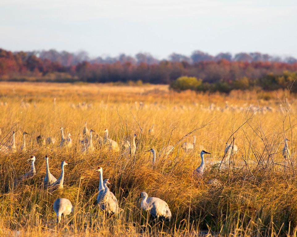 Crex cranes 12 (2015)