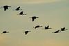 Crex cranes 1 (10-22-2011)