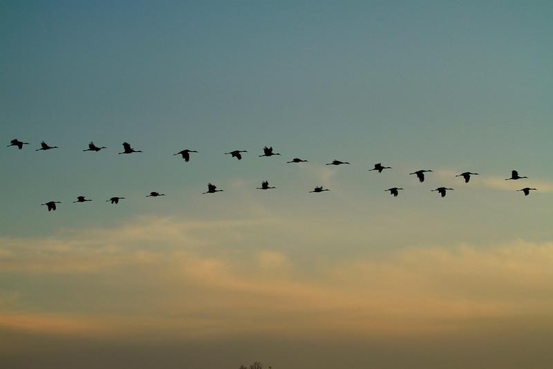 Crex cranes 2 (10-22-2011)