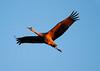 Crex cranes 4 (10-22-2011)