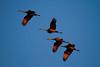 Crex cranes 6 (10-22-2011)