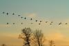 Crex cranes 3 (10-22-2011)