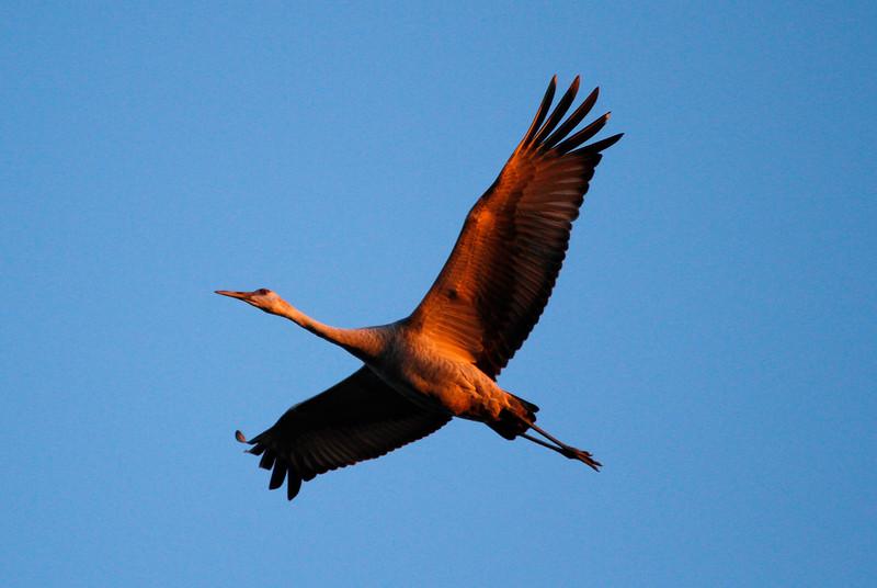 Crex cranes 5 (10-22-2011)