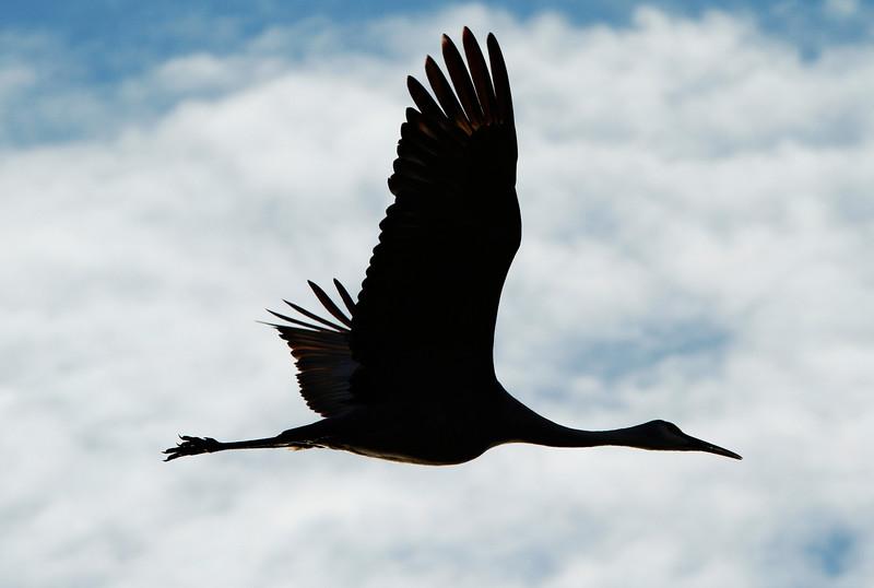 Crex cranes 23 (10-24-2011)
