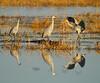 Crex cranes 15 (10-24-2011)