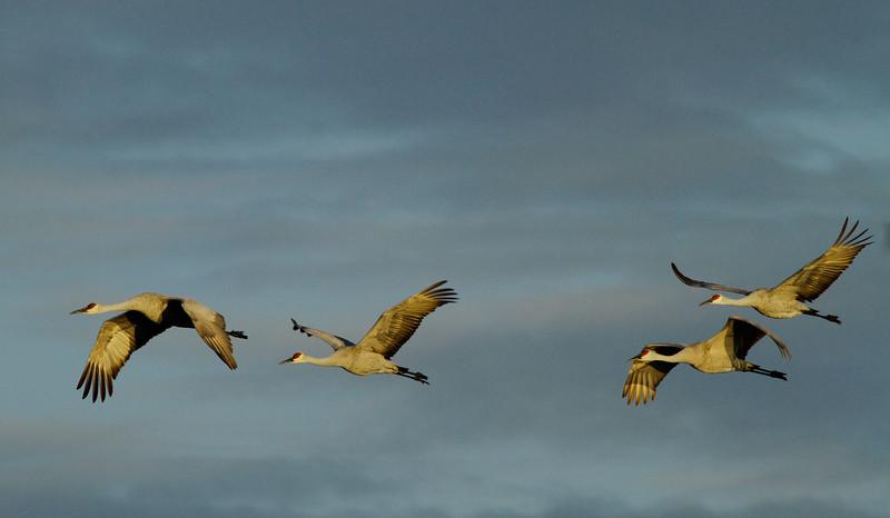 Crex cranes 9 (10-24-2011)