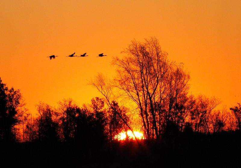 Crex cranes 31 (10-24-2011)