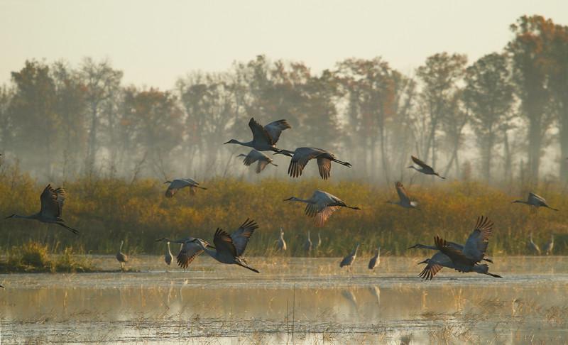 Crex cranes 11 (10-24-2011)