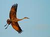 Crex cranes 30 (10-24-2011)