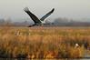 Crex cranes 14 (10-24-2011)