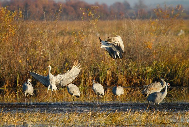 Crex cranes 19 (10-24-2011)
