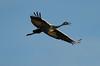 Crex cranes 18 (10-24-2011)