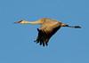 Crex cranes 7 (10-24-2011)