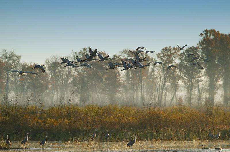 Crex cranes 12 (10-24-2011)