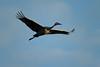 Crex cranes 5 (10-24-2011)
