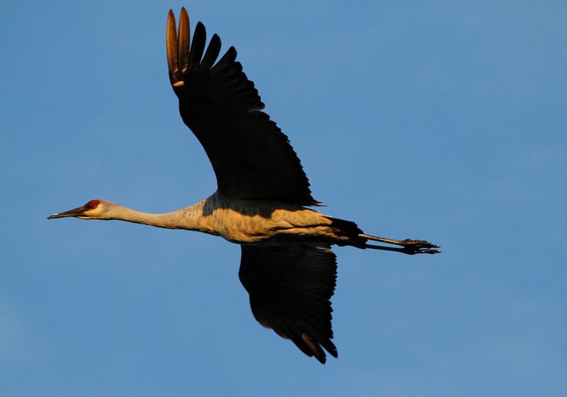 Crex cranes 3 (10-24-2011)