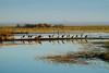 Crex cranes 16 (10-24-2011)