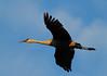 Crex cranes 4 (10-24-2011)