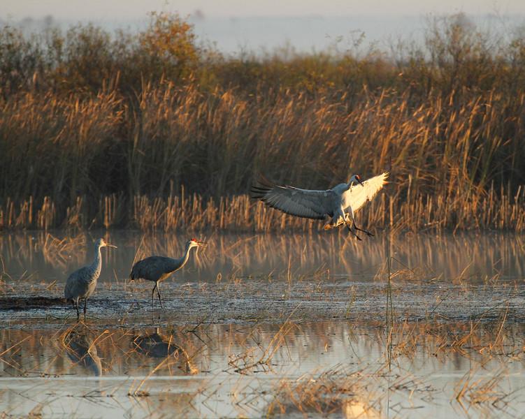 Crex cranes 1 (10-24-2011)