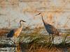 Crex cranes 27 (10-24-2011)