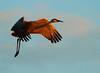 Crex cranes 34 (10-24-2011)