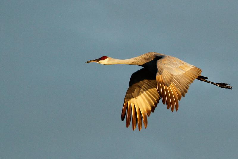 Crex cranes 2 (10-24-2011)