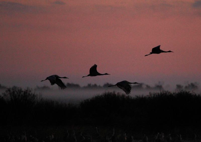 Crex cranes 24 (10-24-2011)