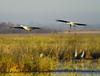 Crex cranes 20 (10-24-2011)