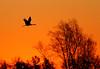 Crex cranes 26 (10-24-2011)