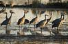 Crex cranes 28 (10-24-2011)