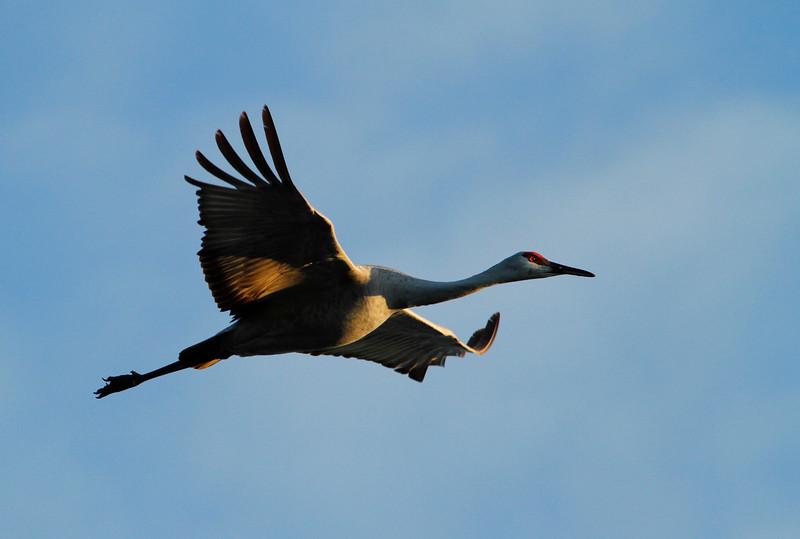 Crex cranes 6 (10-24-2011)