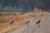 Crex cranes 25 (10-24-2011)